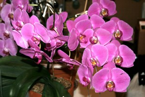 Mom's orchid