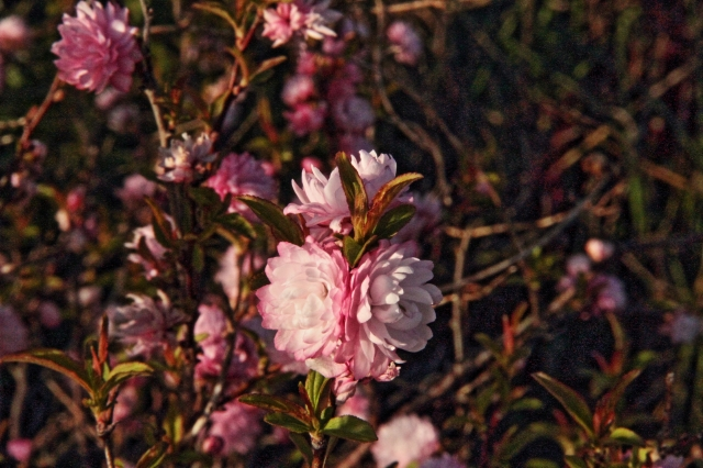 Almon bush bloom