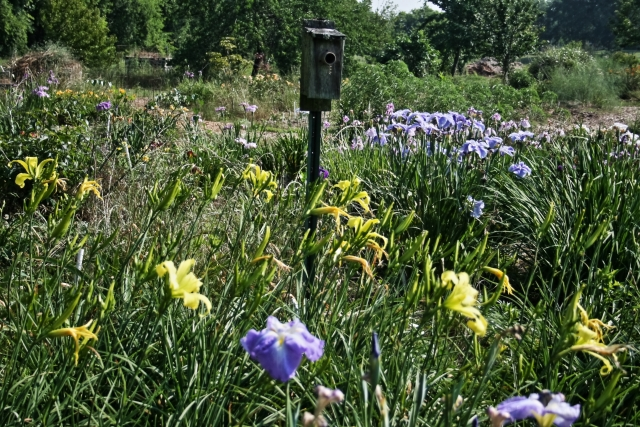 Daylilies and Japanese iris with nest box with guard