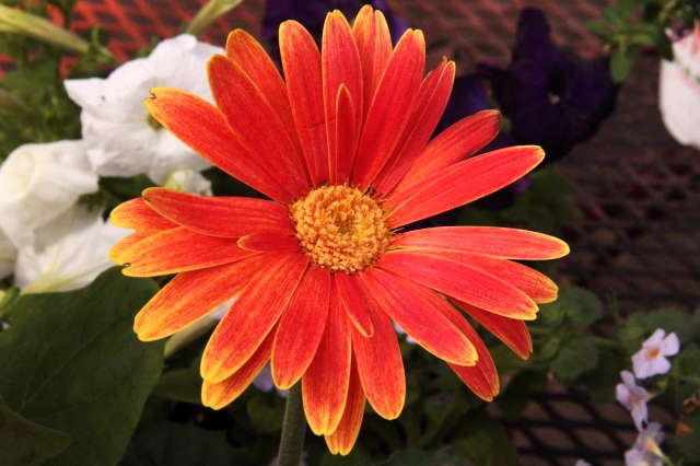 gerber daisy new color