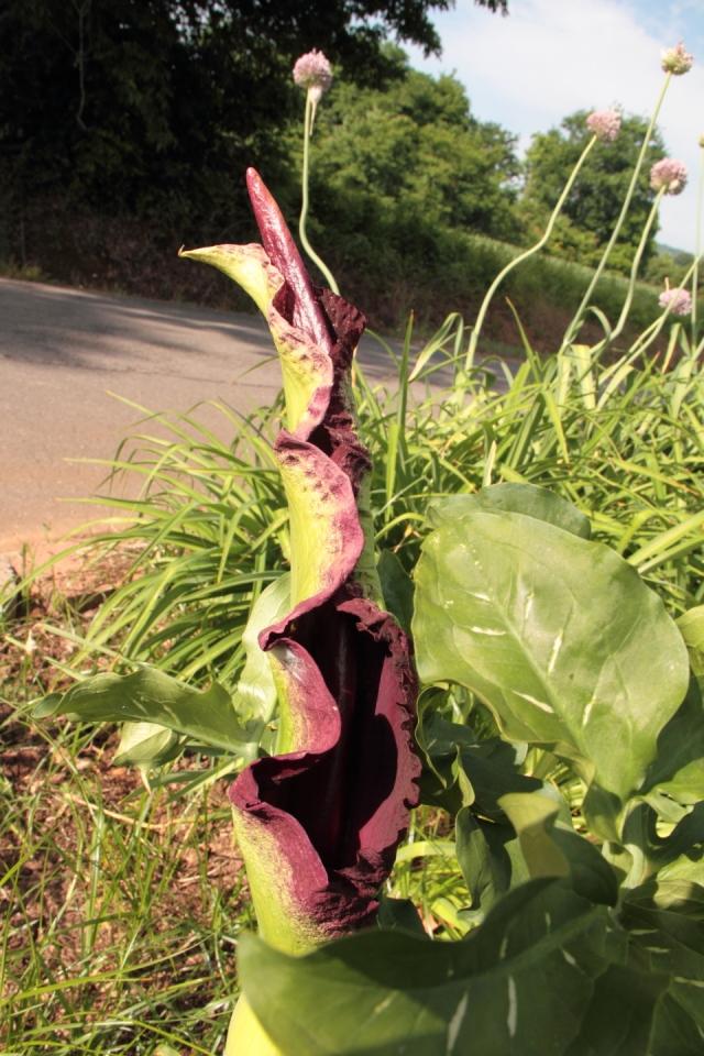 Dragon Plant IMG_0899