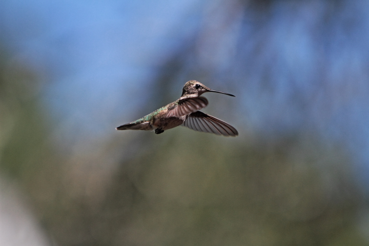 Hummingbirds Migration 2015 Hummingbird Migration 2015